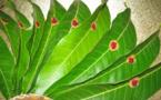 Pourquoi attachons-nous des feuilles de mangue à l'entrée de notre maison ?