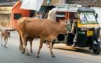 C'est ainsi que les vaches apportent de la malchance dans votre vie