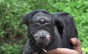 Naissance d'un bébé chèvre cyclope en Inde