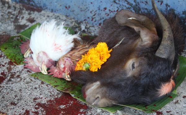 SACRIFICE ANIMAL À LA RÉUNION 'CHACUN DOIT RESTER À SA PLACE'