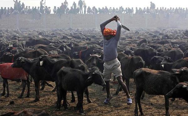 Gadhimai : une célébration hindoue qui sacrifie 300.000 animaux tous les 5 ans