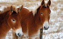 """Inde: 11 """"mules"""" arrêtées avec de l'or dans le rectum"""